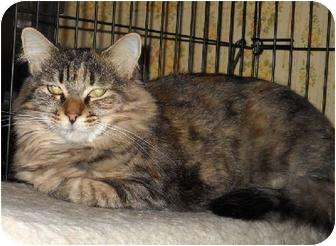 Maine Coon Cat for adoption in Bellflower, California - CA - Winnie