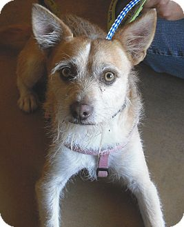 Wirehaired Fox Terrier Mix Dog for Sale in Wickenburg, Arizona - Jax