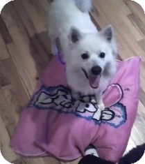 American Eskimo Dog Dog for Sale in selden, New York - Benji