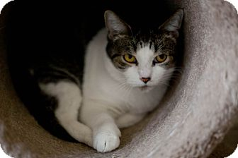 Domestic Shorthair Cat for adoption in Chicago, Illinois - Faustina