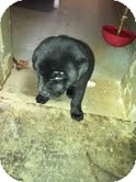 Labrador Retriever/Shar Pei Mix Puppy for Sale in Athens, Georgia - Maranda