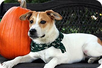 Jack Russell Terrier/Corgi Mix Dog for Sale in Columbus, Georgia - Scooter