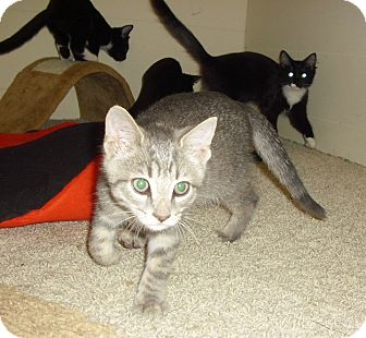 Domestic Shorthair Kitten for Sale in Fairborn, Ohio - Waverly