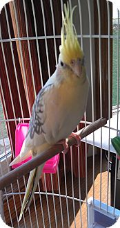 Cockatiel for Sale in Mantua, Ohio - LILEA