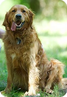 Golden Retriever Dog for Sale in Brattleboro, Vermont - Hunter