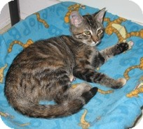 Domestic Shorthair Kitten for Sale in Shelton, Washington - Miss Katie