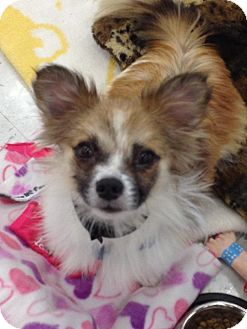 Papillon Mix Dog for Sale in Brea, California - Sparky