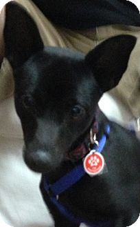 Chihuahua Mix Dog for Sale in Thousand Oaks, California - Bubba