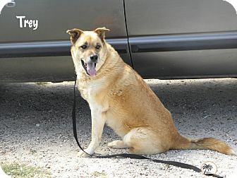 German Shepherd Dog/Labrador Retriever Mix Dog for adption in Granbury, Texas - Trey