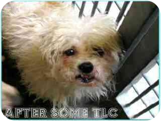 Maltese/Poodle (Miniature) Mix Dog for adption in Studio City, California - Quincey