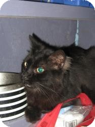 Domestic Shorthair Cat for adoption in Brainardsville, New York - TRIPPER