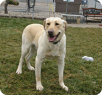 Labrador Retriever Mix Dog for Sale in Meridian, Idaho - Blitzen