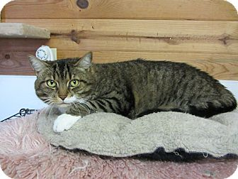 Domestic Shorthair Cat for adoption in Bainbridge Island, Washington - Bea