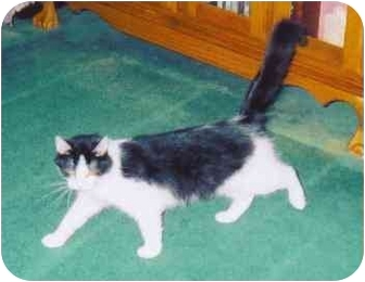 Domestic Mediumhair Cat for adoption in Fayette, Missouri - Cat in the Hat