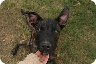 Shepherd (Unknown Type) Mix Dog for Sale in san antonio, Texas - Chance