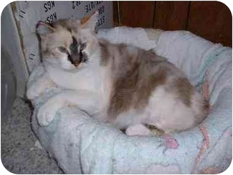 Siamese Cat for adoption in Lethbridge, Alberta - Mira