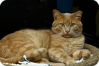 Domestic Shorthair Cat for adoption in Lombard, Illinois - Sequoia