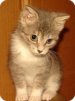 Domestic Shorthair Kitten for Sale in Florence, Kentucky - Evinrude