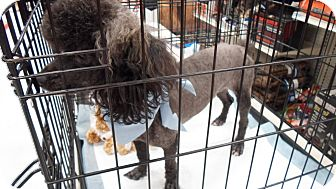 Poodle (Miniature) Dog for Sale in Hazard, Kentucky - Oscar