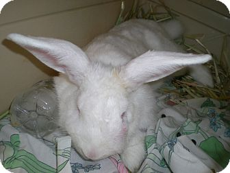 New Zealand Mix for adoption in West Los Angeles, California - Bunny Blazz