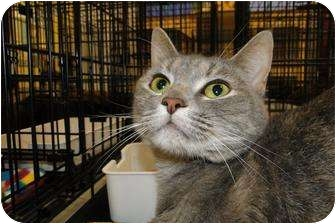 Domestic Shorthair Cat for Sale in Harrisburg, North Carolina - Silly Kitty