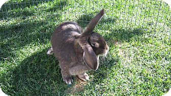 Mini Lop Mix for Sale in Bonita, California - Kayla