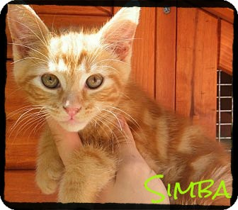 Domestic Shorthair Kitten for Sale in anywhere, New Hampshire - Simba