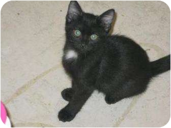 Bombay Cat for adoption in Mesa, Arizona - Oh Henry