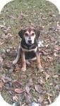 Treeing Walker Coonhound/Beagle Mix Puppy for Sale in Manchester, Connecticut - Buck  ADOPTION PENDING