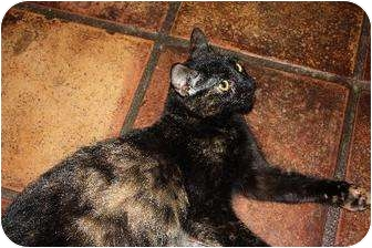 Domestic Mediumhair Cat for adoption in Cypress, Texas - Mosaic