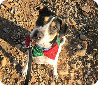 Pointer/Harrier Mix Dog for Sale in Scottsdale, Arizona - Lucky