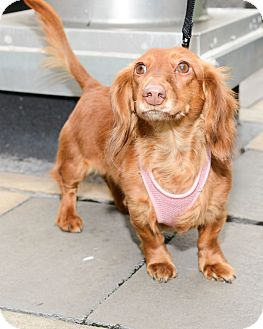 Dachshund Dog for Sale in New York, New York - Baby Princess