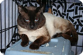 Siamese Cat for Sale in SantaRosa, California - FIV Siamese