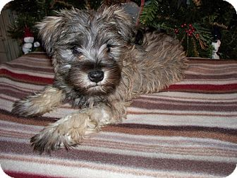 Schnauzer (Miniature) Mix Puppy for Sale in Boise, Idaho - Timmy