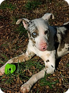 Hybrid dogs mixed dog breeds information pictures and videos