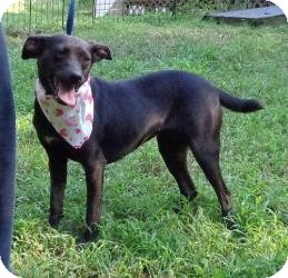 Manchester Terrier/Terrier (Unknown Type, Small) Mix Dog for Sale in Allentown, Pennsylvania - Faith ($200 Fee)
