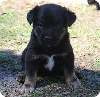Shepherd (Unknown Type) Mix Puppy for Sale in Oldsmar, Florida - PUNKITY