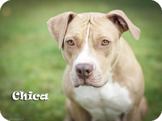 Pit Bull Terrier Mix Dog for Sale in Hamilton, Montana - Chica