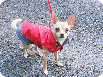 Chihuahua Mix Dog for Sale in Bellingham, Washington - Jewelli