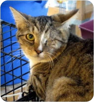 Domestic Mediumhair Cat for adoption in Pittsboro, North Carolina - Mel