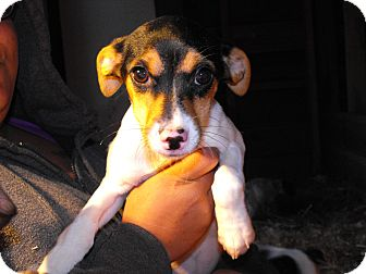 Jack Russell Terrier Mix Puppy for Sale in Nashville, Tennessee - Jinxy