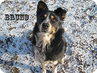 Rottweiler/Australian Cattle Dog Mix Dog for Sale in Hamilton, Montana - Bruno