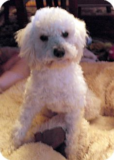 Poodle (Miniature) Mix Dog for Sale in Thousand Oaks, California - Jethro