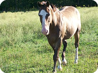 Quarterhorse Mix for adoption in Lyles, Tennessee - Pumpernickel