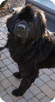 Newfoundland Dog for Sale in Bartlett, Illinois - Tonka