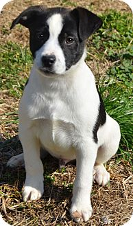 Labrador Retriever/Border Collie Mix Puppy for Sale in Washington, D.C. - Spencer