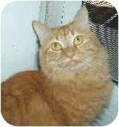 Domestic Mediumhair Cat for adoption in Mesa, Arizona - Juice