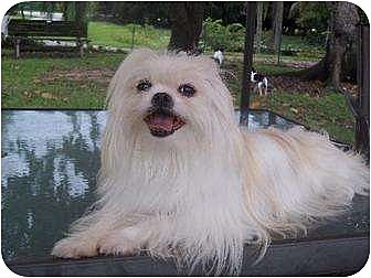 Shih Tzu/Pekingese Mix Dog for adoption in Davie, Florida - Crystal ...