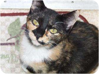 Calico Cat for adoption in Burbank, California - Vixen