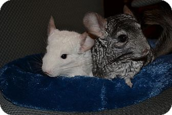 Chinchilla for Sale in Selden, New York - Pete
